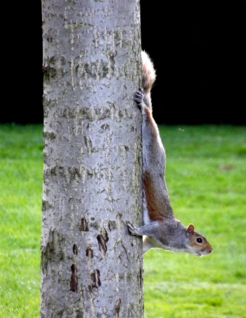 The London Squirrel