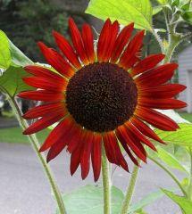 Singed Sunflower