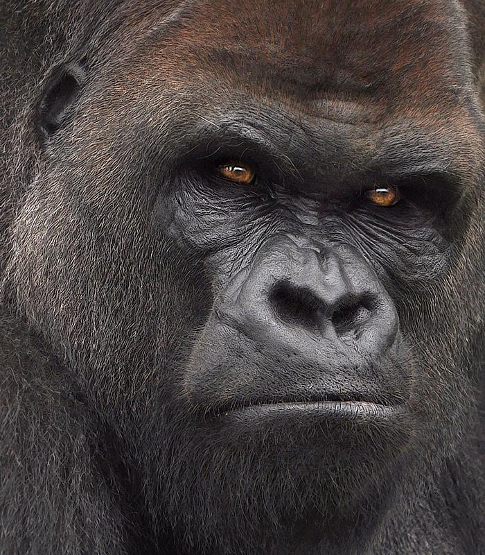 gorilla 245