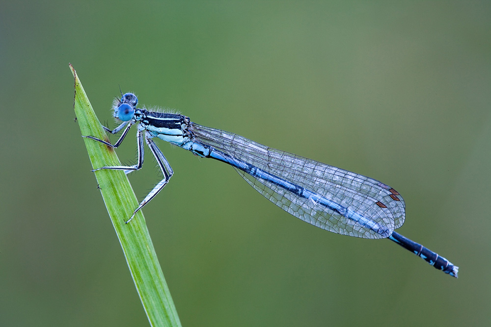 Platycnemis pennipes. Dragon fly