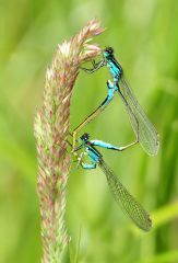 A date with a Blue Damselfly.