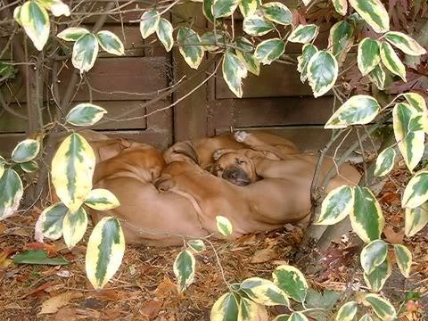 RR pupp's in the garden